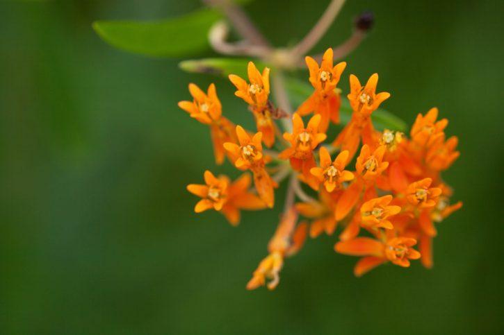 Weed, диких квітів, ornage, близьким, квітучі, завод
