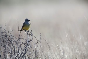 ouest, kingbird, grand, flycatcher, oiseau