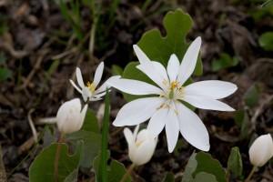 білий, bloodroot, квітка