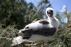 young bird, juvenile, booby, bird