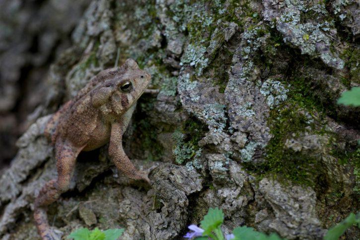 frog, amphibian, American, animal, wood