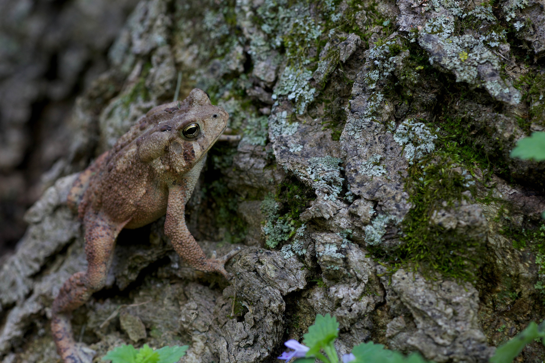 Free photograph; frog, amphibian, American, animal, wood