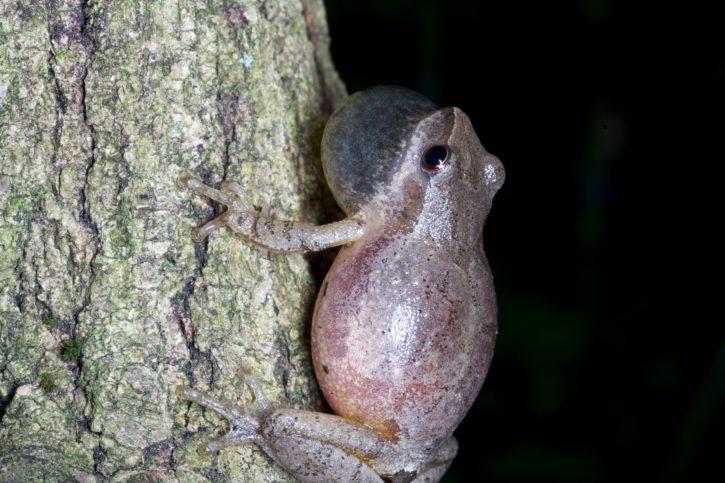 frog, amphibian, spring, peeper, toad, wood, animal