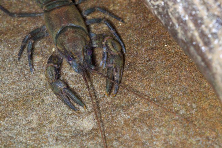 greenbrier, crayfish