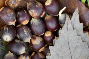 group, seeds, chinquapin, oakwhite, oak, plant
