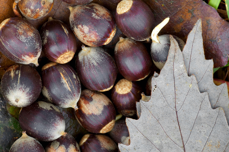Free photograph; group, seeds, chinquapin, oakwhite, oak, plant