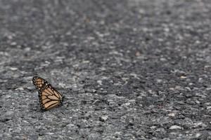 inseto, monarca, borboleta, asfalto, estrada