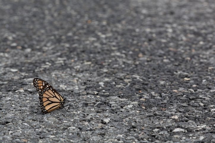 insect, Monarch, butterfly, asphalt, road