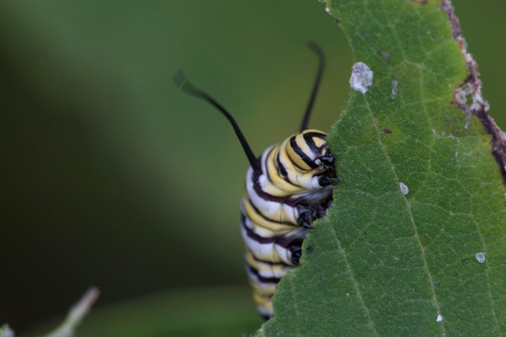 list, insekata, jedu, leptir, ličinke