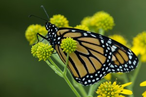 macro, yellowish, big, monarch butterfly, flower