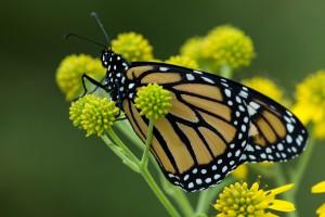 macro, amarillo, grande, mariposa de monarca, flor