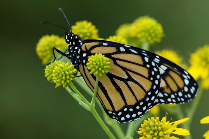 macro, yellowish, big, monarch, butterfly, flower