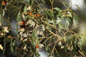 monarch butterflies, annual, migration, summer, breeding