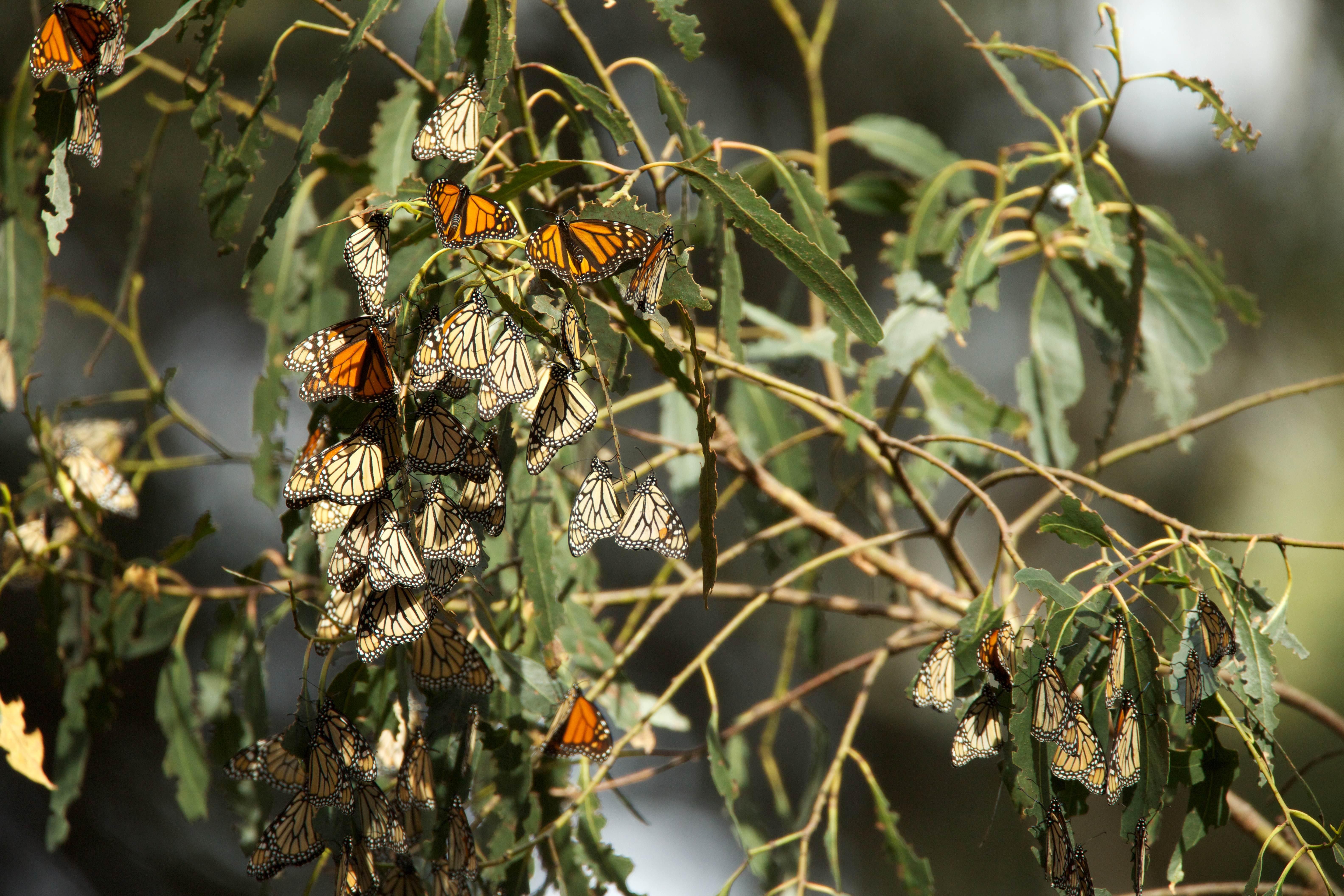 Free photograph; monarch, butterflies, annual, migration, summer, breeding