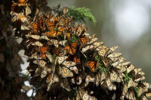 Monarch butterflies, migratie, insecten