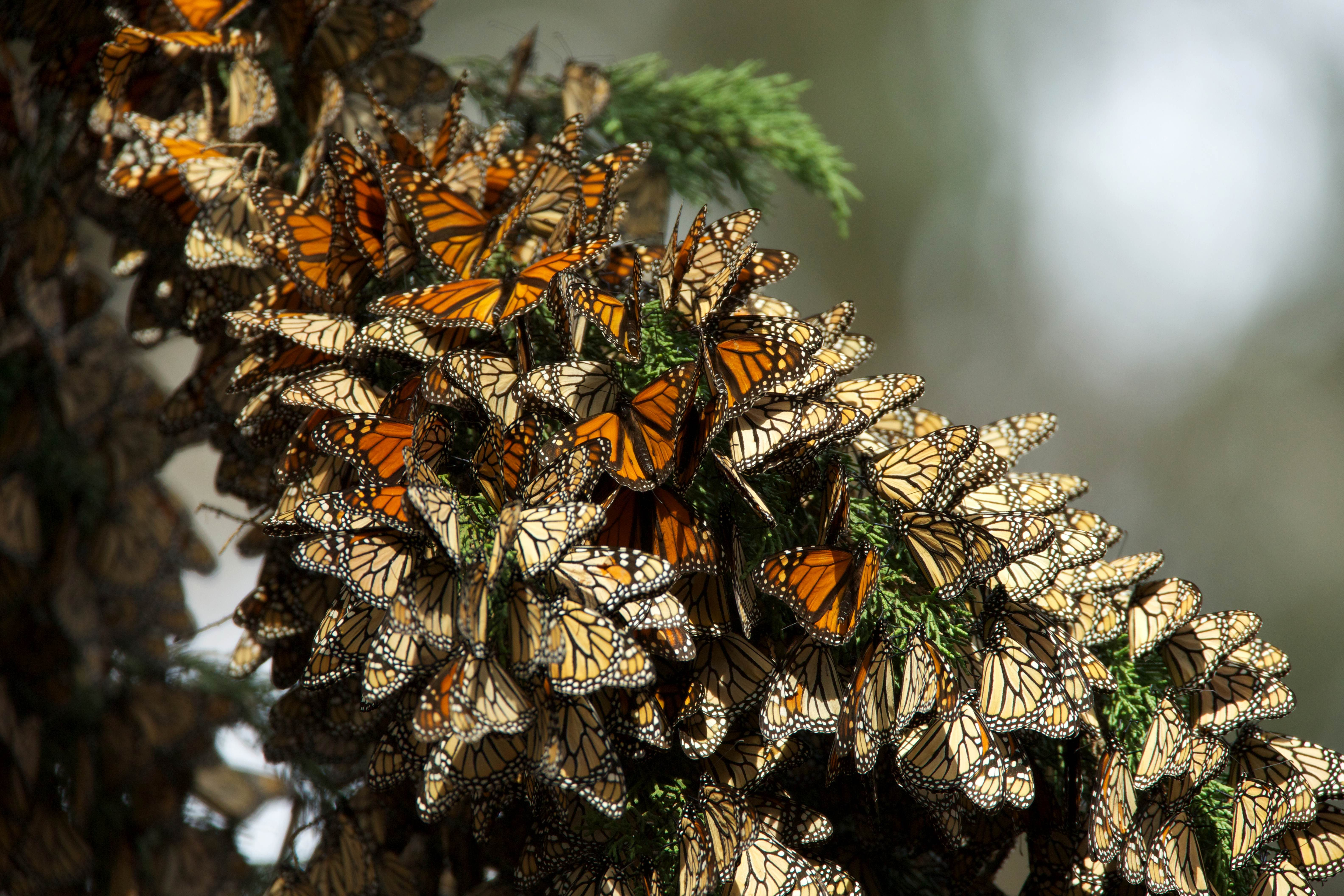 Free photograph; monarch, butterflies, migration, insects
