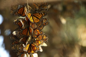 monarch butterflies, summer, breeding, habitat, overwintering, grounds