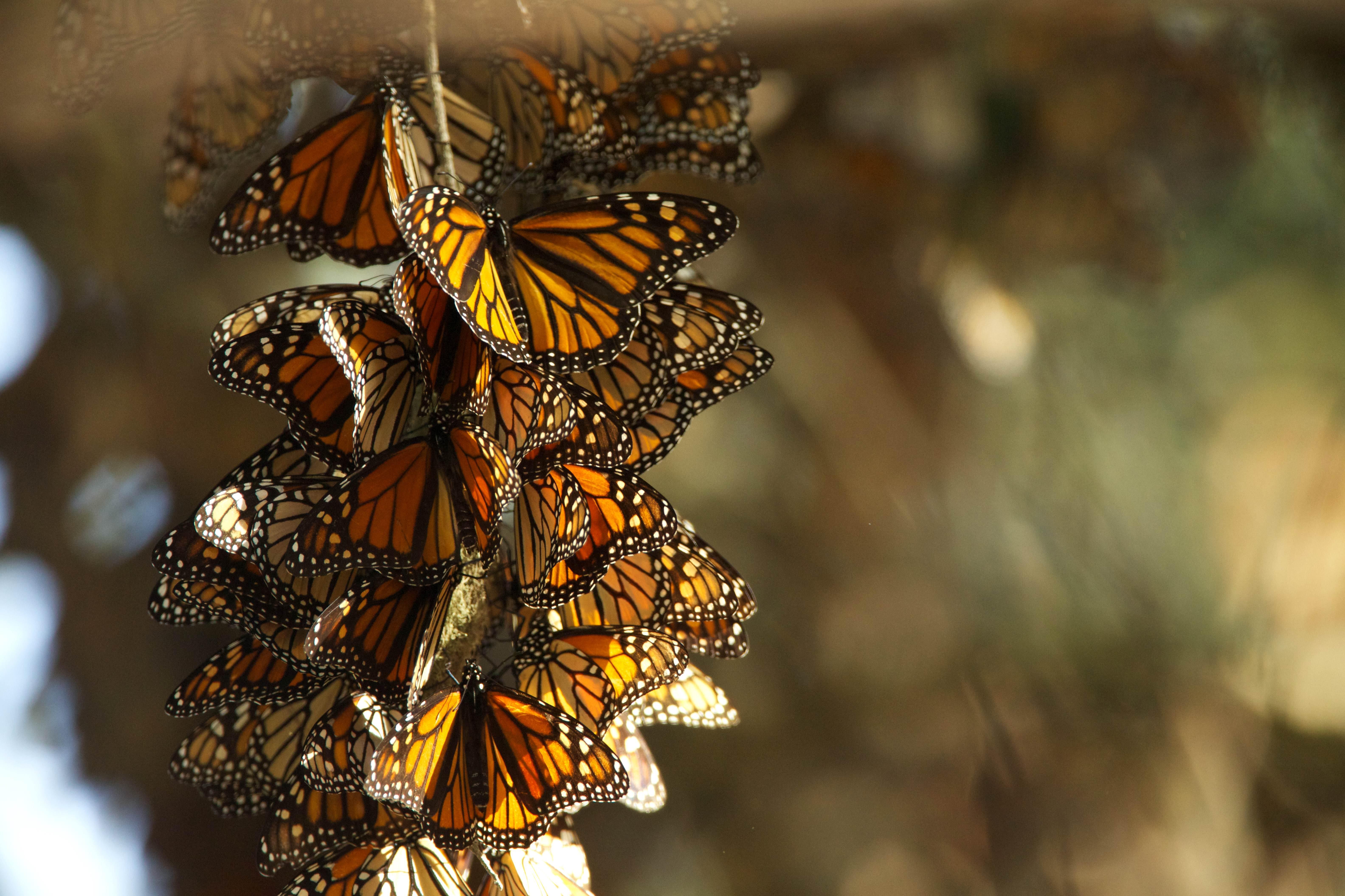 Free photograph; monarch, butterflies, summer, breeding, habitat, overwintering, grounds