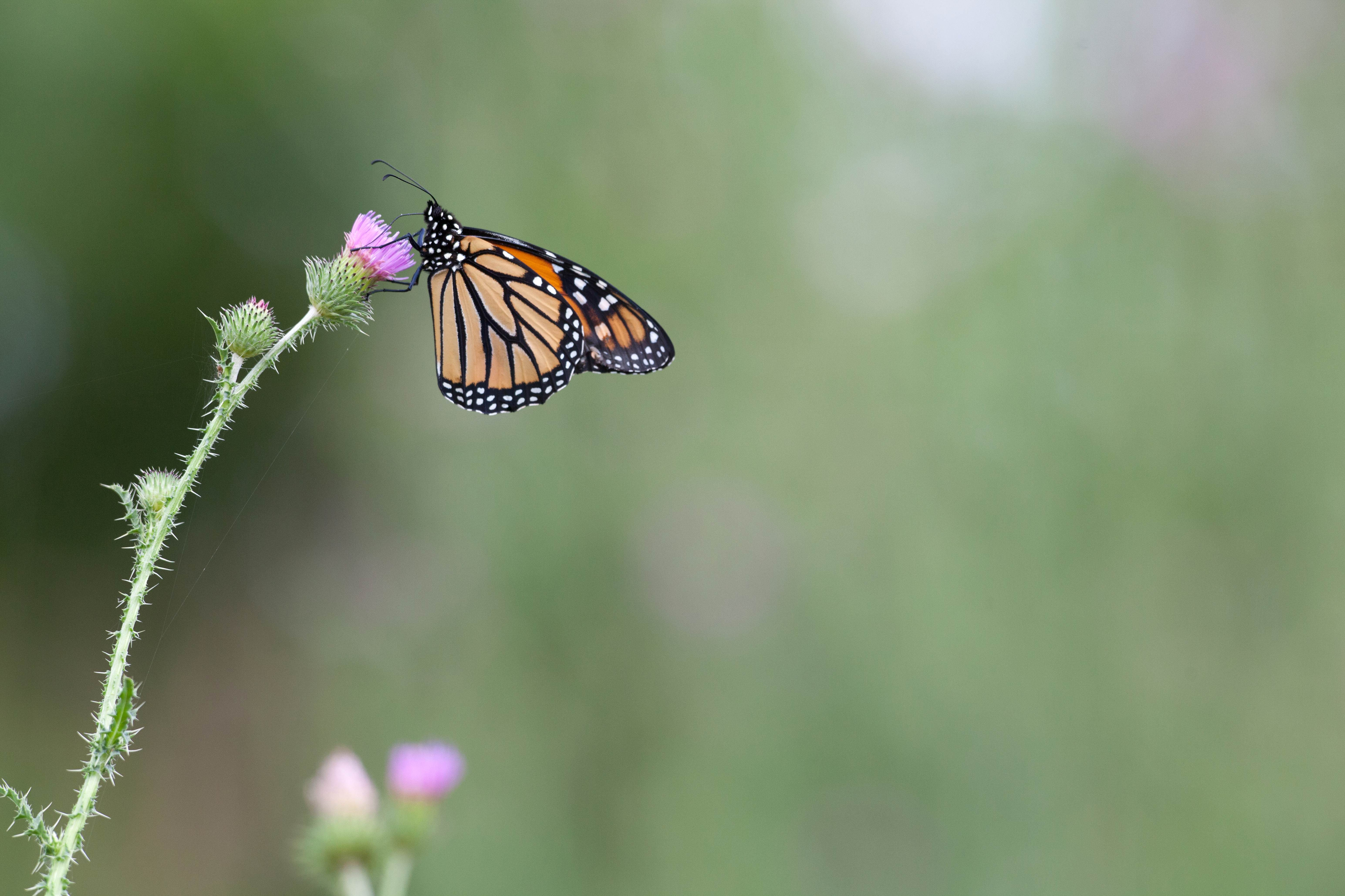 Free photograph; monarch, butterfly, flowering, wildflower, thistle, plant, nature