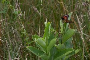 монарх пеперуда, млечок, растителна