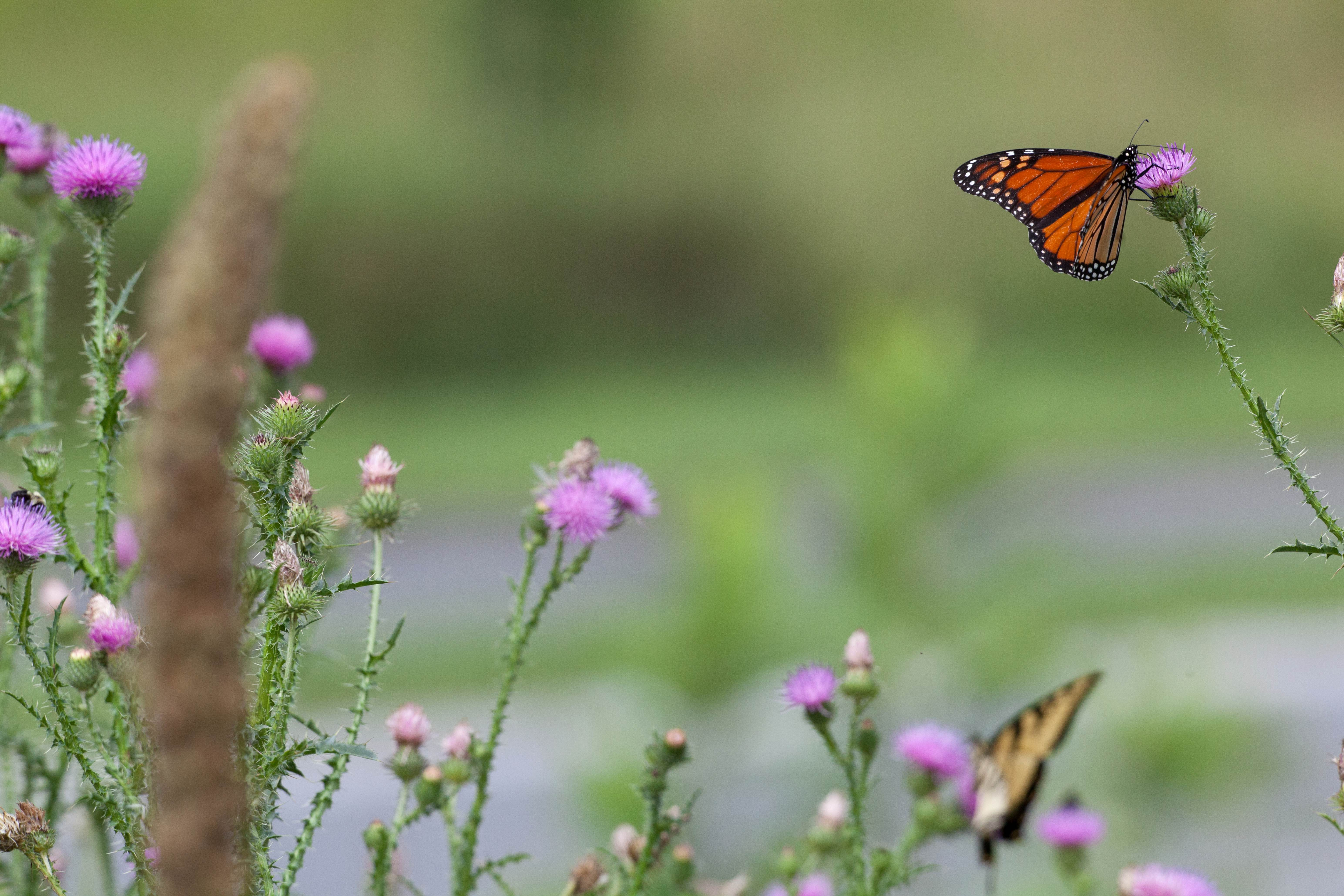 Free photograph; monarch, butterfly, thistle, plant, bloom