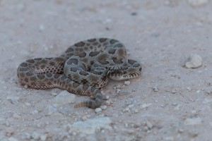rettile, animale, deserto, a spirale, occidentali, Massasauga, serpenti a sonagli