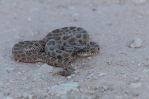 reptile, animal, désert, enroulées, occidental, massasaugas, serpents à sonnettes