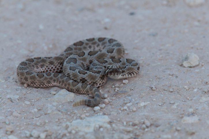 reptile, animal, desert, coiled, western, Massasauga, rattlesnakes