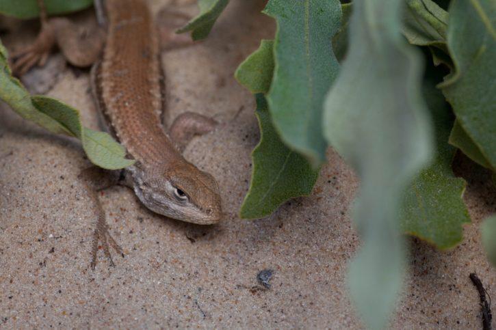 reptile, animal, dunes, sagebrush, lizard