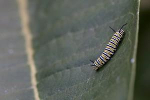enkelt, insekt, sommerfugl, larver, blad