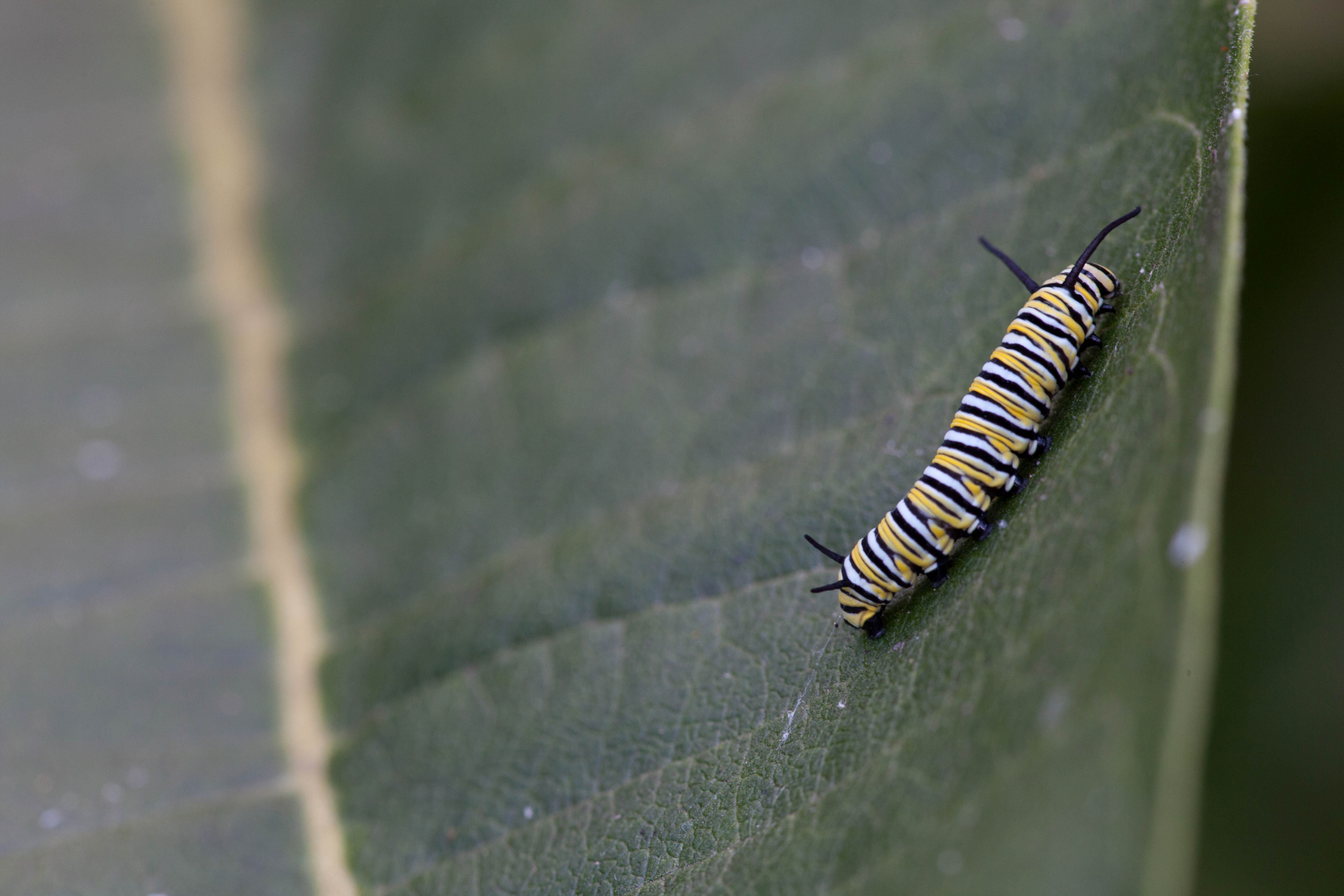 Free photograph; single, insect, butterfly, larvae, leaf