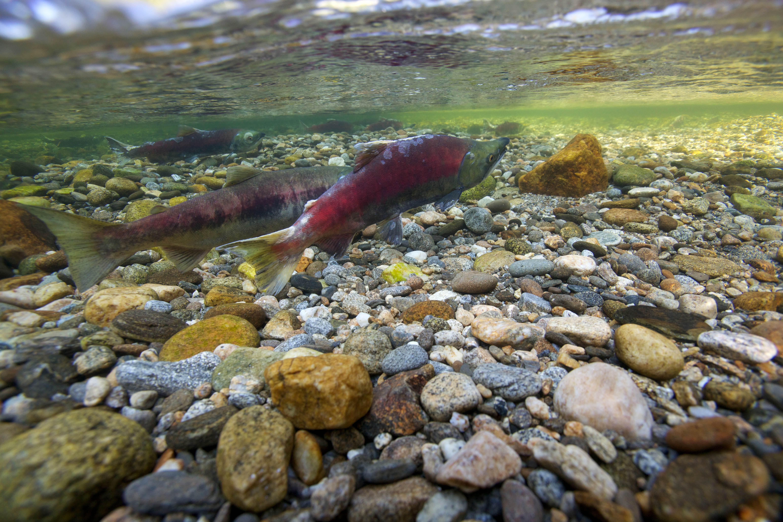 Free photograph; sockeye, salmon, spawn, Wenatchee, river