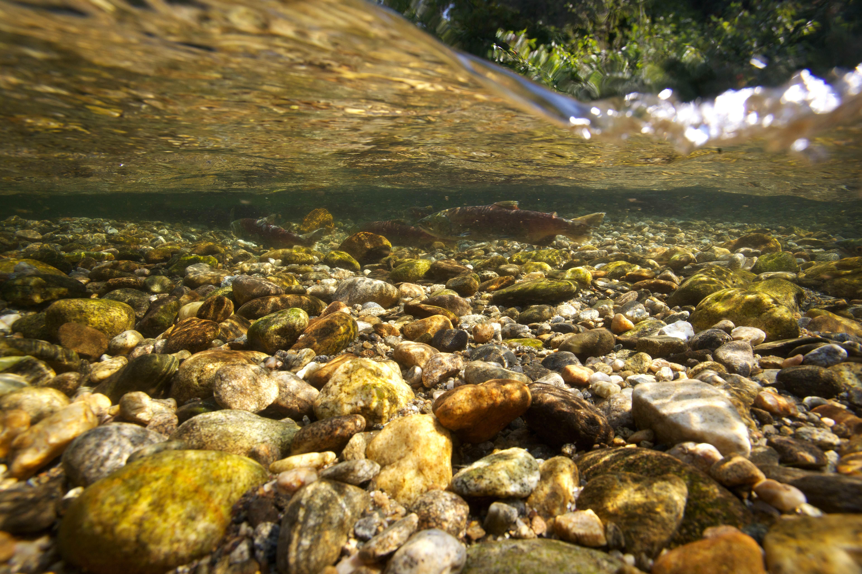Free photograph; sockeye, salmon, spawn, fish