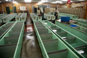 frai, les installations, l'automne, le saumon quinnat, le saumon