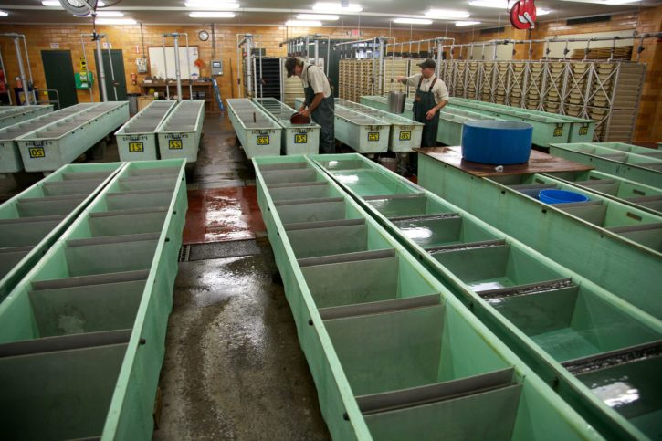 spawning, facilities, fall, chinook, salmon