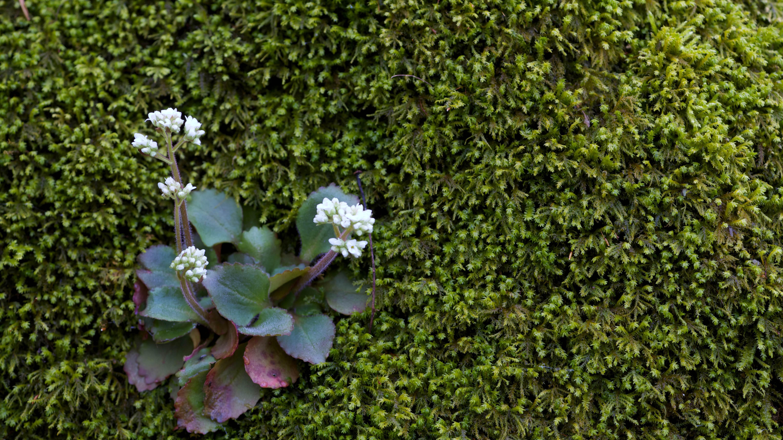 Free photograph; threatened, endangered, Harbinger, spring, wildflower