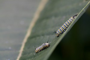 two, butterfly, larvae, feeding