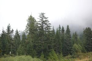 Zapadni, zelenkaste, drvo, šuma