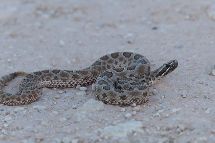 western, Massasauga, rattlesnake