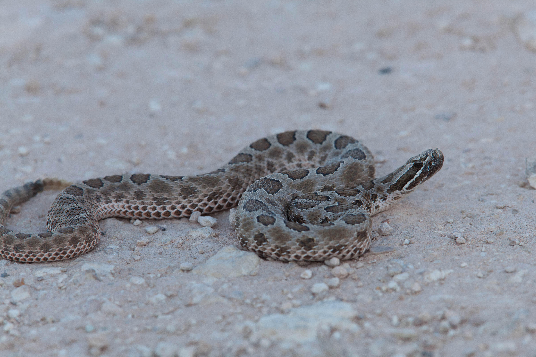 Free photograph; western, Massasauga, rattlesnake