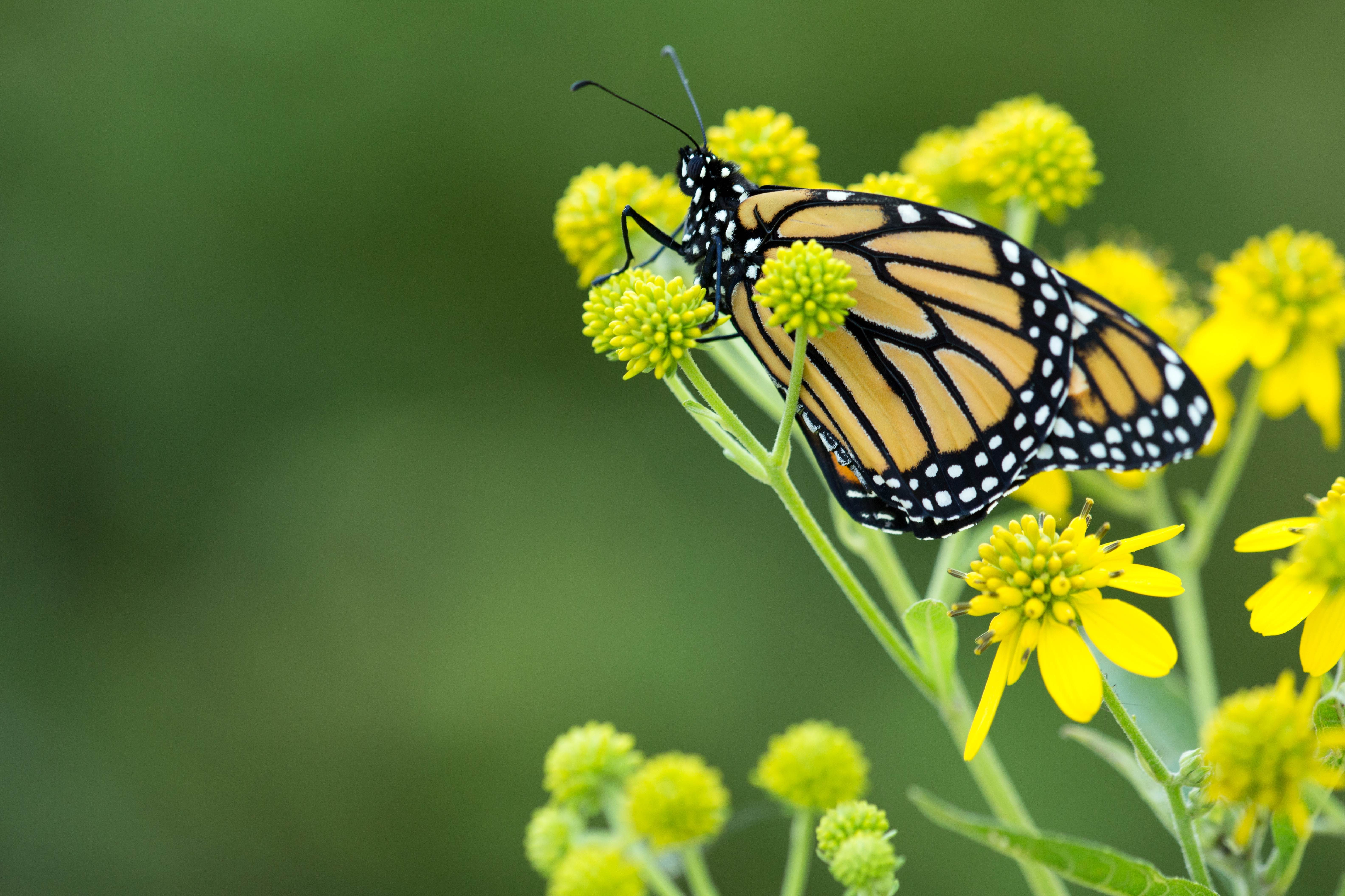 Free photograph; yellowish, monarch, butterfly, flower, grass, green