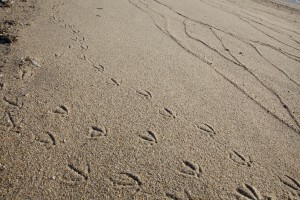 bird, animal, tracks, sand