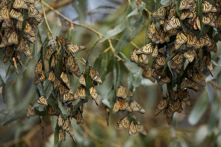 insects, monarch, butterflies