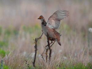 mindre prairie kylling, fugl