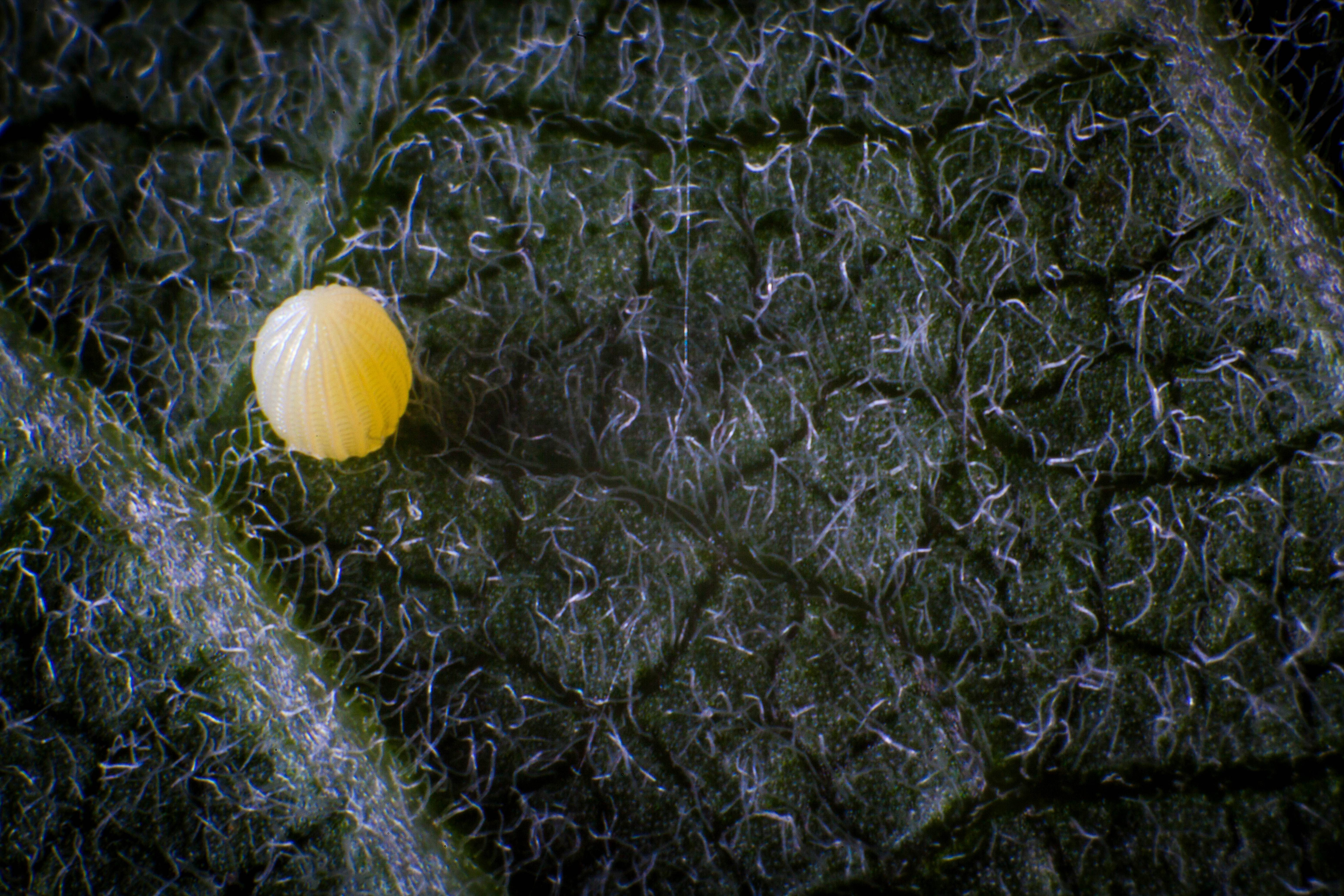 Free photograph; macro, insect, tiny, yellow, butterfly, egg