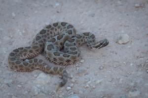 mexiko, wüste, Reptil, massasauga, Klapperschlangen