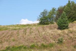 トウヒ木、丘、草原