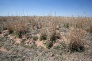 short grass, prairie, desert, habitat