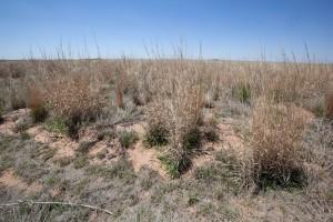 kort gress, prairie, ørken, habitat