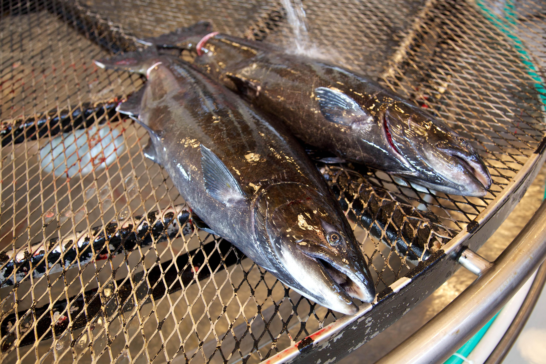 Free photograph; two, salmon, fish